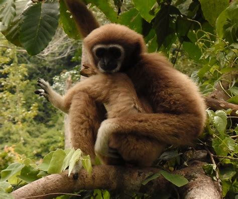 Gibbon sighting on the mountain road between Maenam and