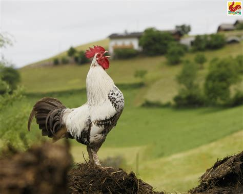 Background - Images - Red Rooster
