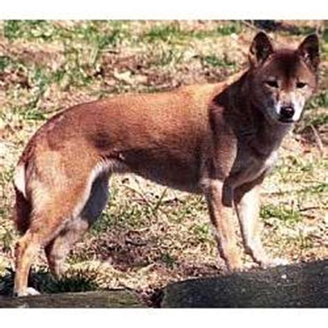 New Guinea Singing Dog Puppies for Sale from Reputable Dog