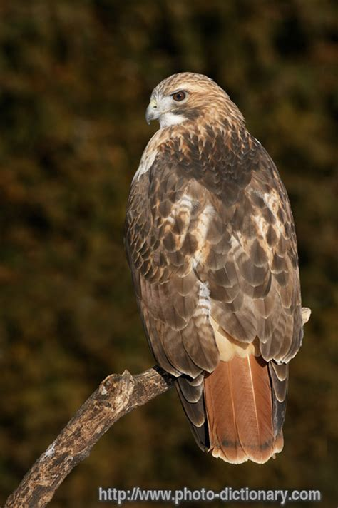 hawk - photo/picture definition at Photo Dictionary - hawk