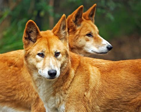 What do dingoes eat