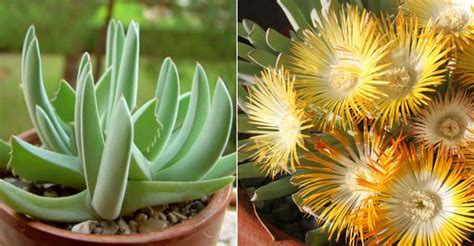 Cheiridopsis denticulata (Carpet Weed) | World of Succulents
