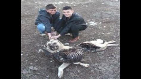 Pack of Wolves Killed Kangal Dogs & Sheep Flock in Turkey