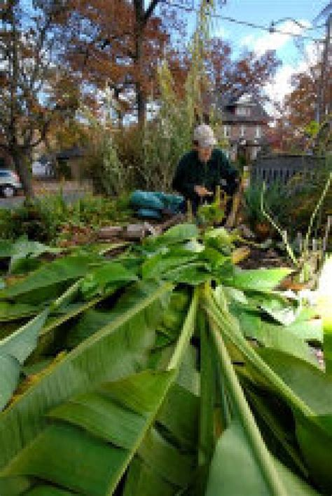 Banana trees can survive outside in the Canadian winter