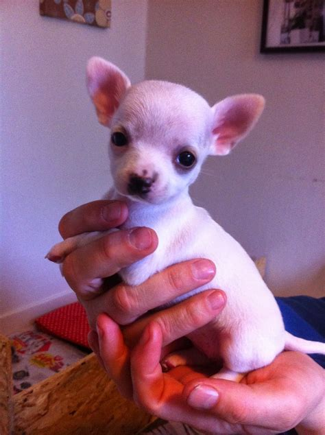 Chihuahua-kennel- Small But Mightys: Valpar till salu!
