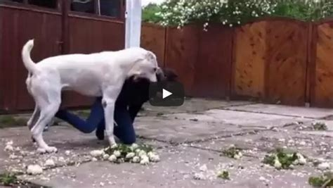 Central Asian Shepherd Dog Playing (Video)