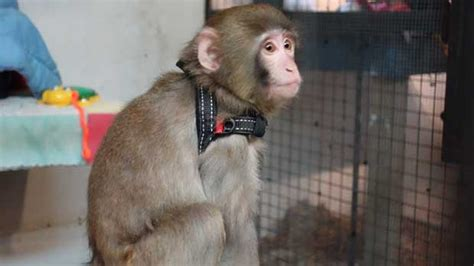 Sanctuary alleges Ikea monkey Darwin was abused   CTV News